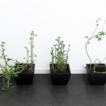 Elina Katara | Potato plants | 2010 | The wilting and sprouting tubers with faces were buried into the pots after being photographed.